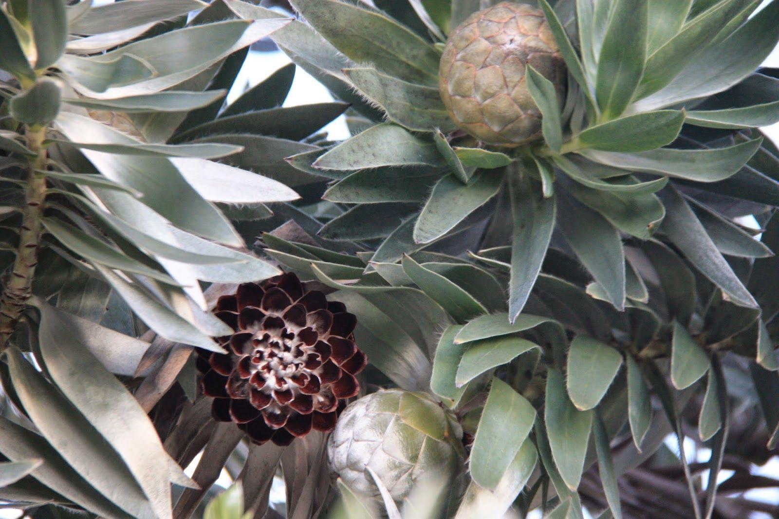 Saving Seeds Leucadendron Argenteum Seed saving, Seeds