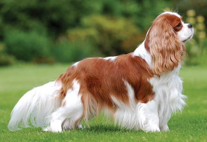 Pin By Kathy Hamilton Imbery On Dog Breeds In 2020 Dog Breeds Spaniel Puppies Spitz Type Dogs