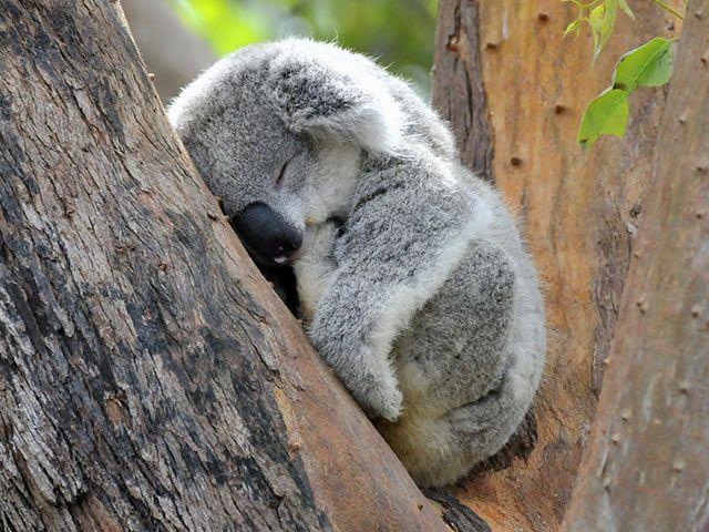 Koala - Tier-Steckbrief - für Kinder & Schule