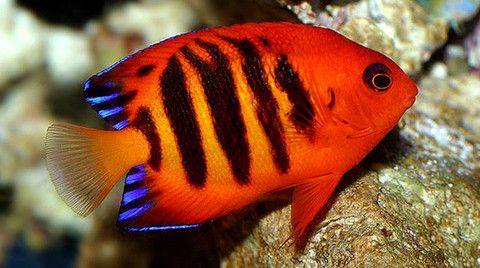 Buy Saltwater Angelfish Online Live Fish Sale Saltwater Aquarium Fish Marine Fish Angel Fish