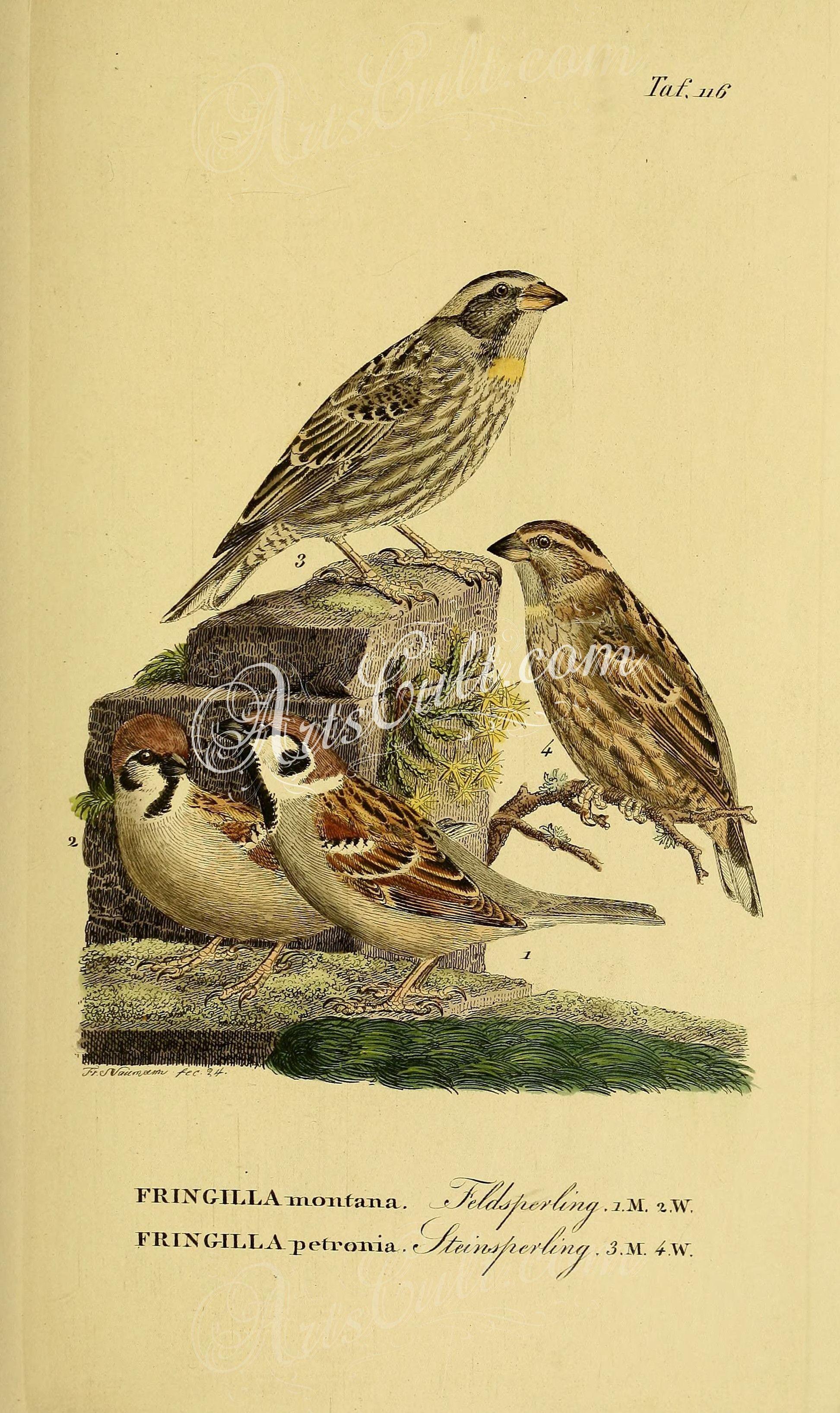 Birds Eurasian Tree Sparrow Rock Sparrow ArtsCult