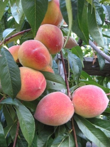 How To Grow Peach Trees In Texas A List Of What Do Keep Them Producing