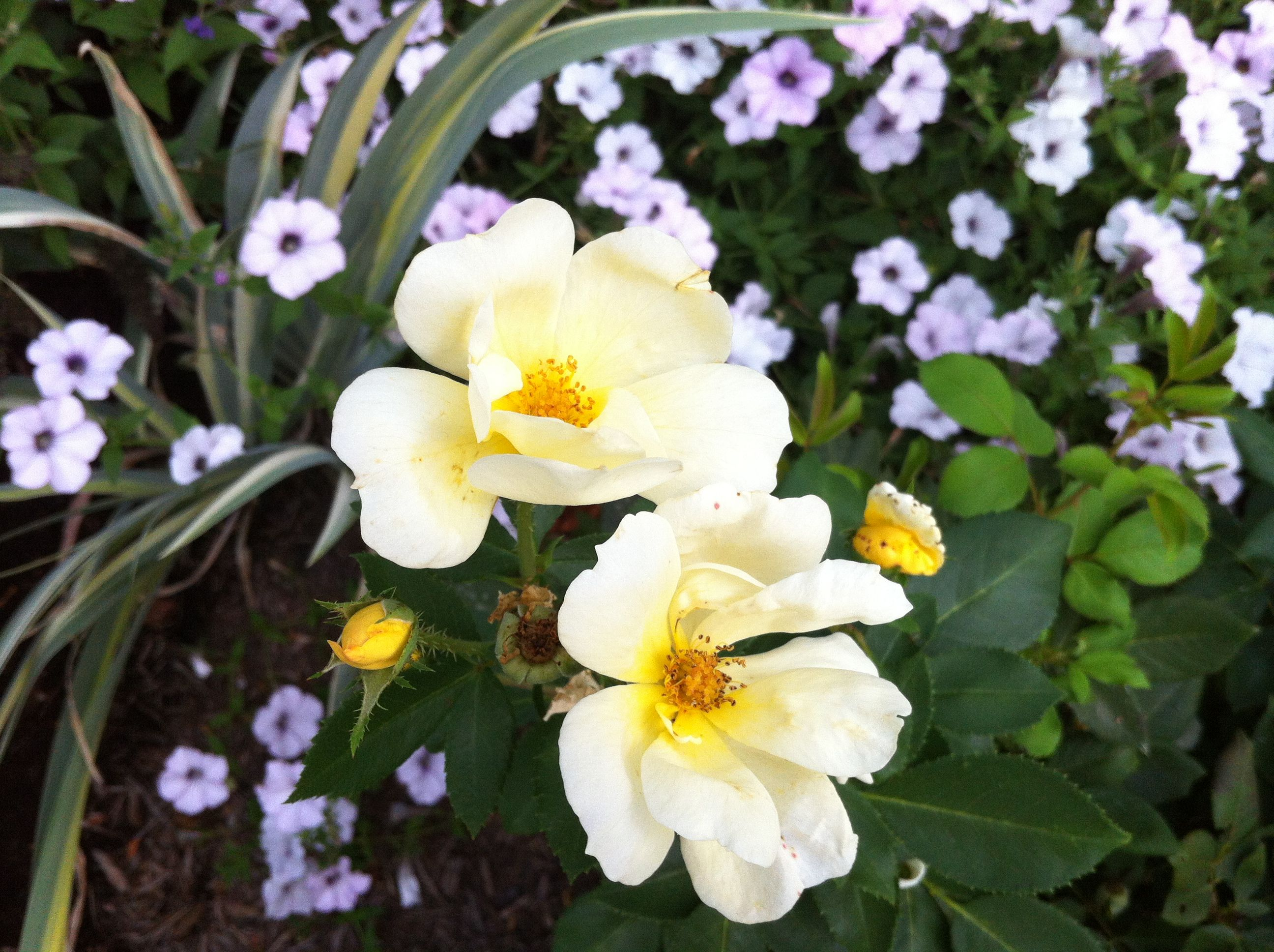 Roses In Garden: Sunny Yellow Knockout And Wave Petunias