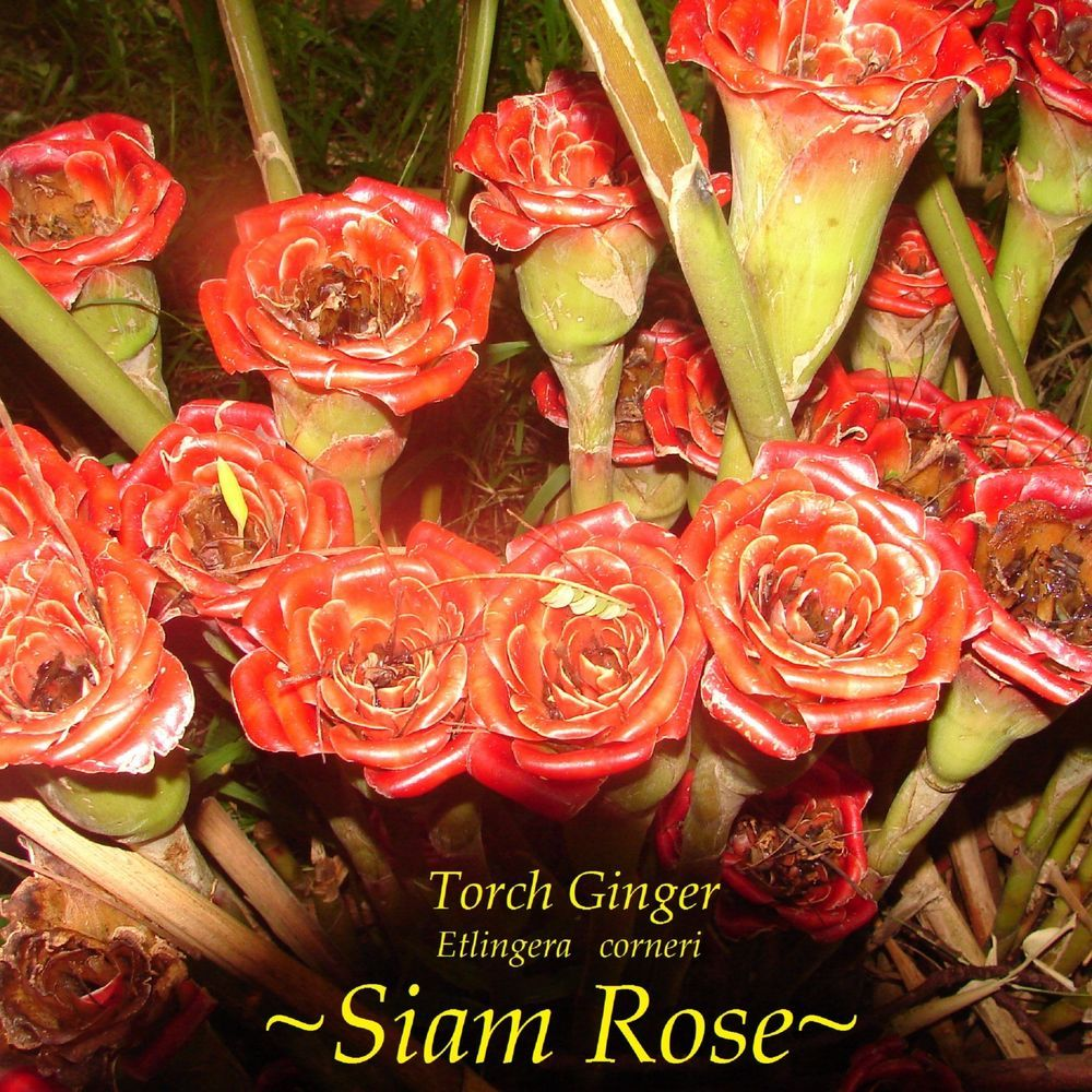 ~Siam Rose~ RARE TORCH GINGER 30 Special Seeds Collector's Etlingera corneri #PolynesianProduceStand