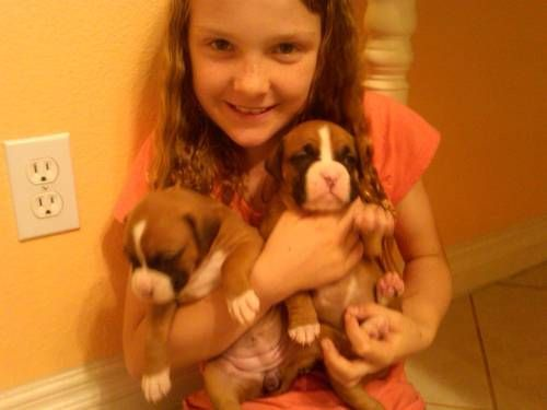 6 Weeks Old Well Taken Care Of Boxer Pups Akc Boxer Puppies Puppies Dogs And Puppies