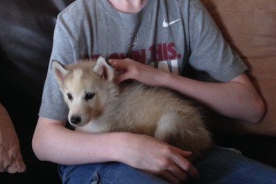 Husky Puppy For Sale Huntsville Al Bama Huskies Bama Huskies