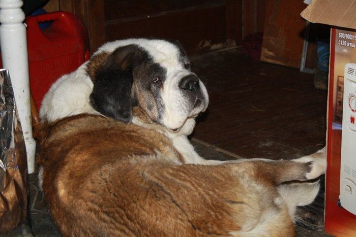 St Bernard S Are The Best Dogs Ever Titan My St Bernard That