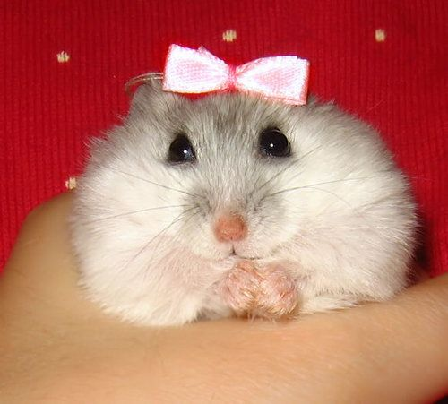 A Super Cute Hamster X Source Somewhere In Flickr
