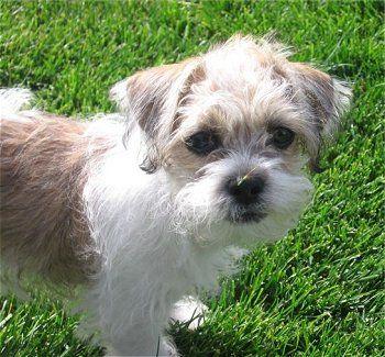 Fo Tzu Toy Fox Terrier Mixed With Shih Tzu Wire Fox Terrier