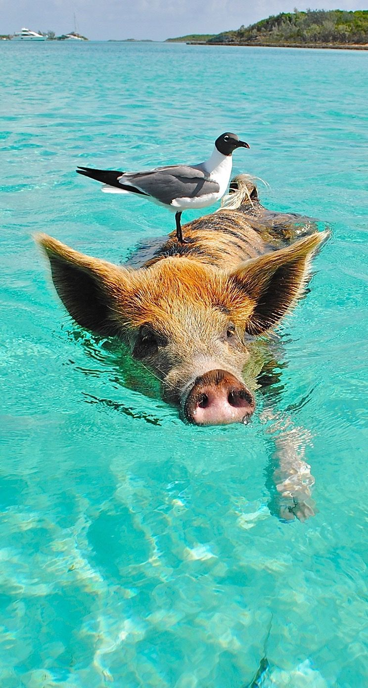 #pig #water #wallpaper #background #iphone #backgroundsiphone