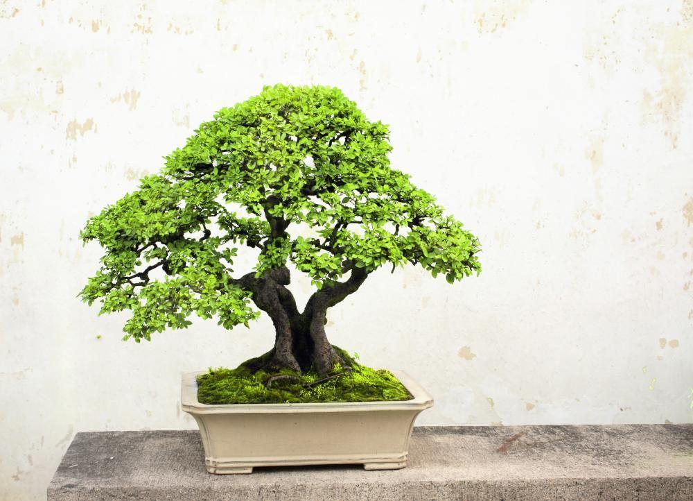 Bonsai   Bonsai   Pinterest   Bonsai baum, Chinesisch und Kultur