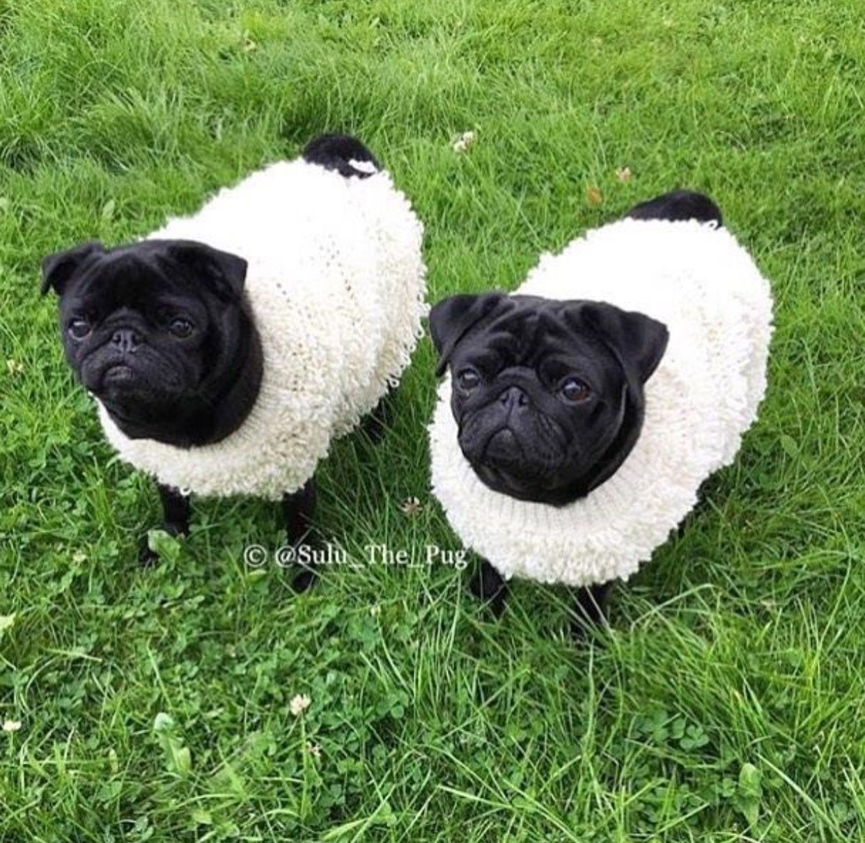 Sheep Pugs Cute Pugs Pugs Funny