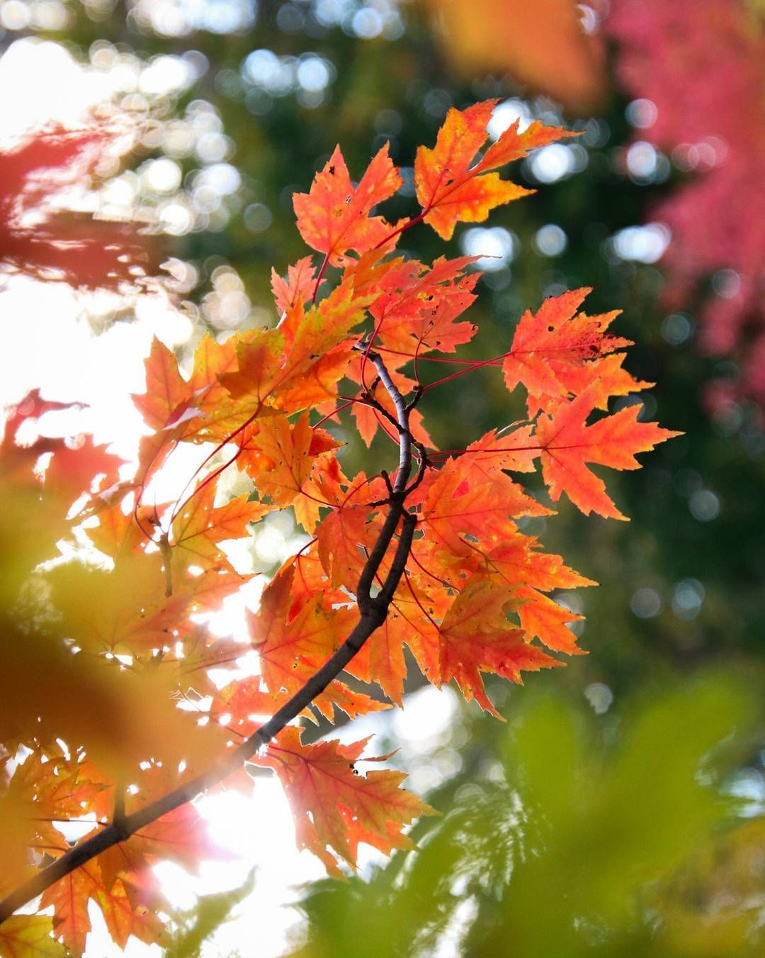 Fall In Love With These Colours Fall Autumn Leaf Leaves Maple Tree Canada Orange Red Green Yellow Favourite Photo Photog Photo Pics Photography