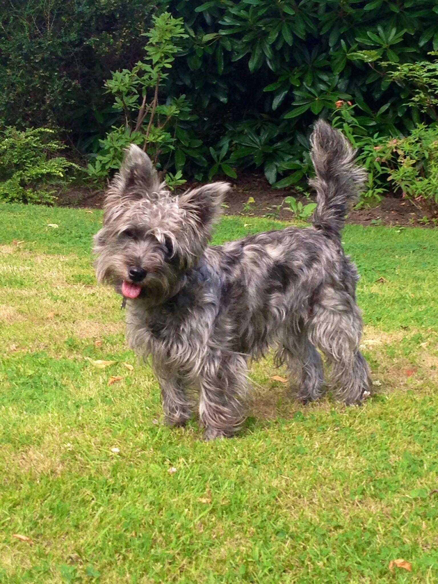 My Wauzer Westie Cross Schnauzer Lily Pedigree Dog Beautiful