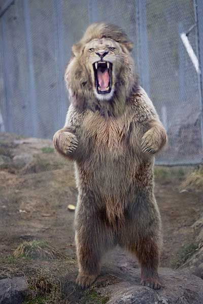 Kharabali Lion Bear. Created by James MacDougall