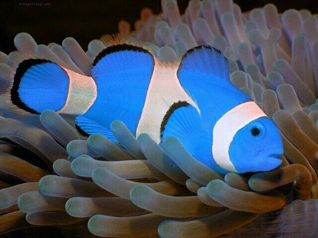 Blue Clownfish Saltwater Aquarium Fish Sea Fish Colorful Fish