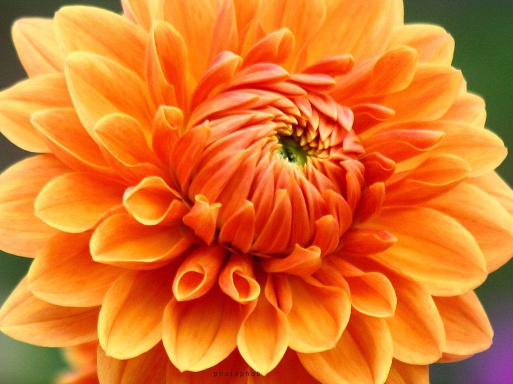 Chrysanthemum 0085 Dahlia Flower Flower Photos Flowers