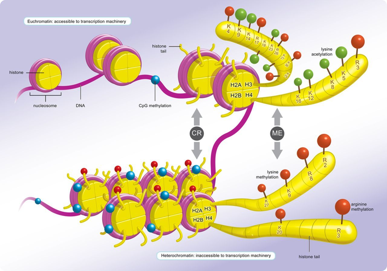 Gene function is primarily regulated by chromatin