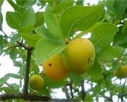 Fruta nativa - Cagaita  - imagem Google