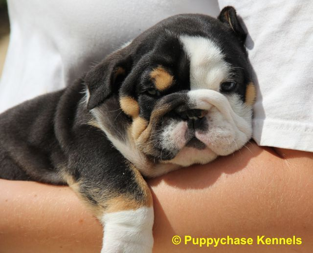 Www Englishbulldogpuppychase Com English Bulldog Puppies