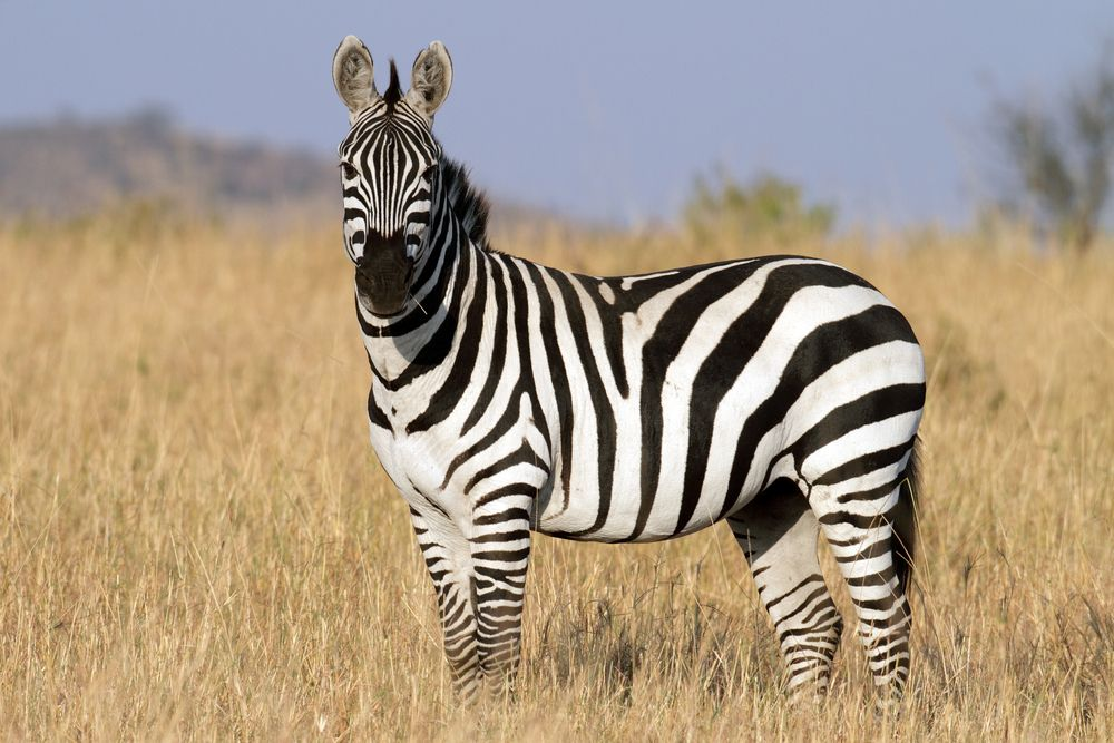 Zebra Facts | Different types, Facts and Africa