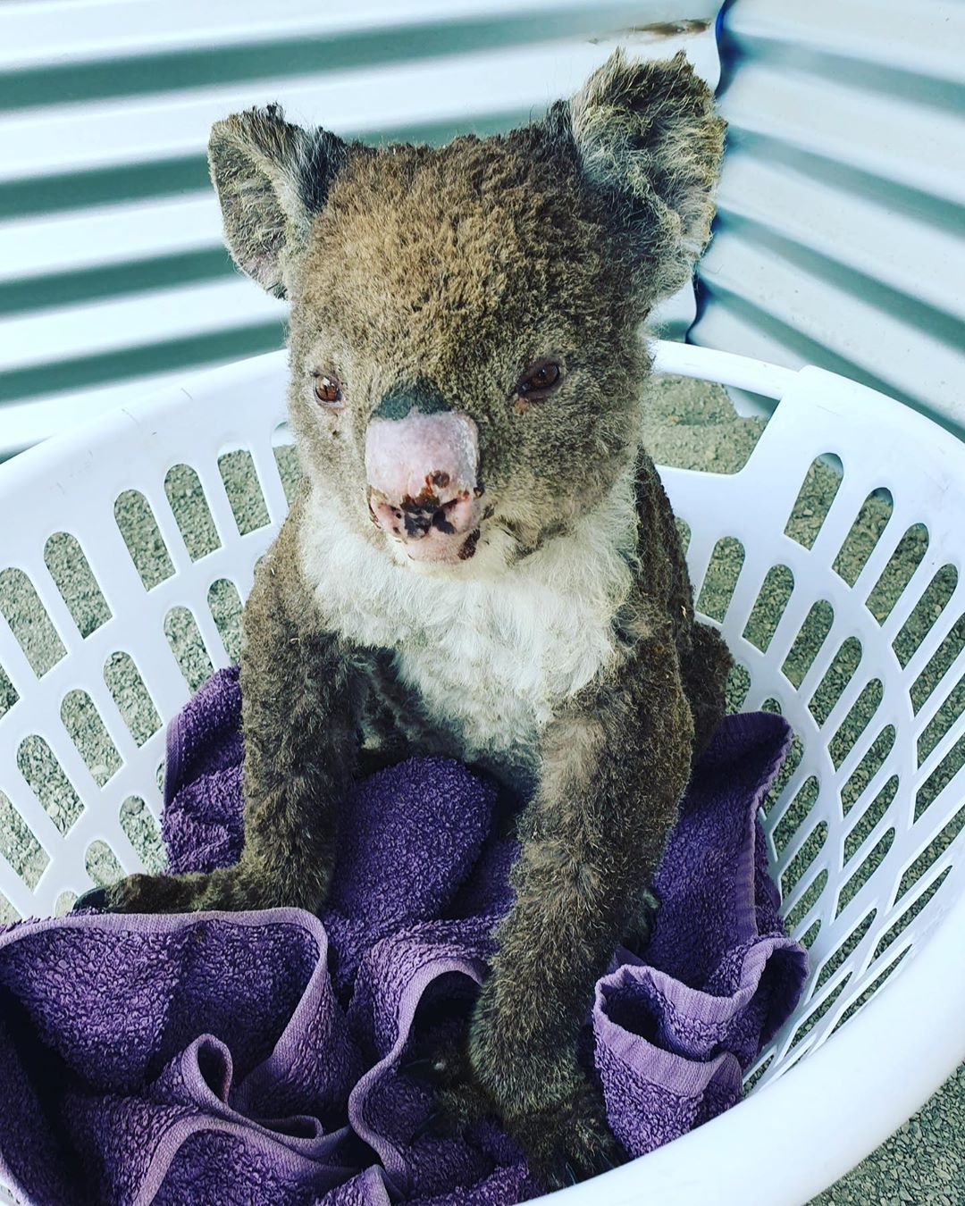 Scott Miller On Instagram Little Singe Y Named Using Very Dry Australian Humour Is Showing Good Signs Of Improveme In 2020 Cute Baby Animals Cute Animals My Animal