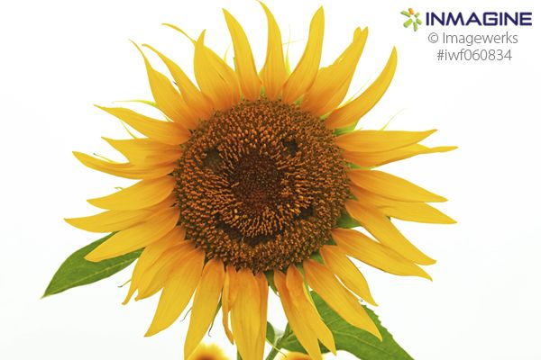 Being happy doesn't mean that everything is perfect. It means that you've decided to look beyond the imperfections. #inmagine #sunflower #happy