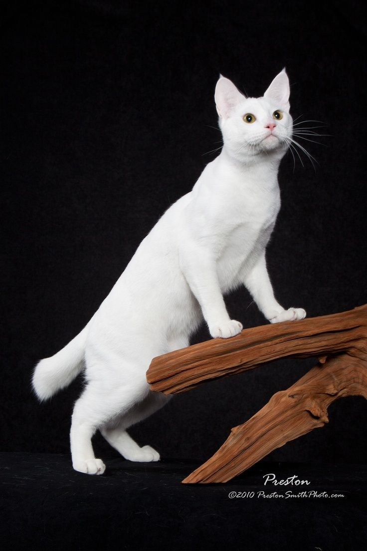 American bobtail kittens uk