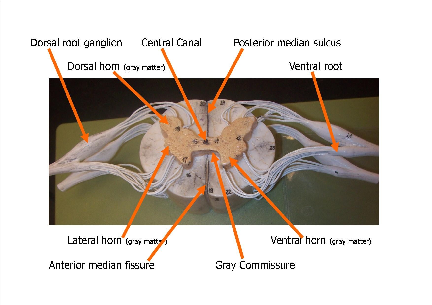 Spinal Cord Model