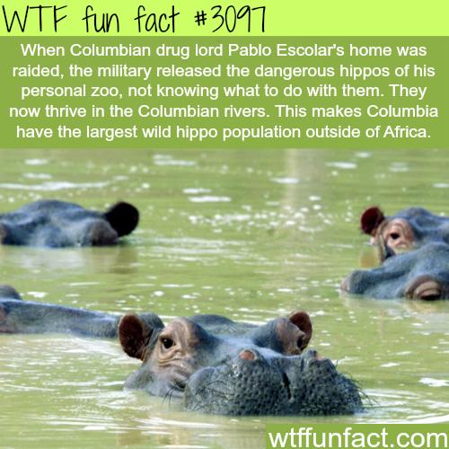 Pablo Escolar S Hippos Wtf Fun Facts Odd Facts Wtf