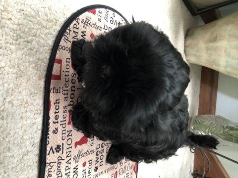 Litter Of 4 Shih Tzu Puppies For Sale In Myrtle Beach Sc Adn