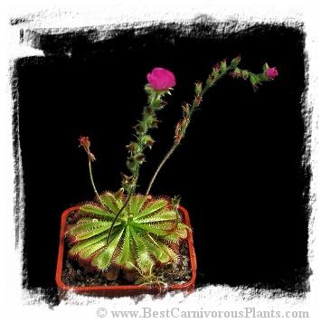 Drosera Spathulata Var Gympiensis Hairy Sepals Gympie Qld Australia Bcp Id S156 15s Best Carnivorous Plan Carnivorous Plants Plant Sale Seed Bank
