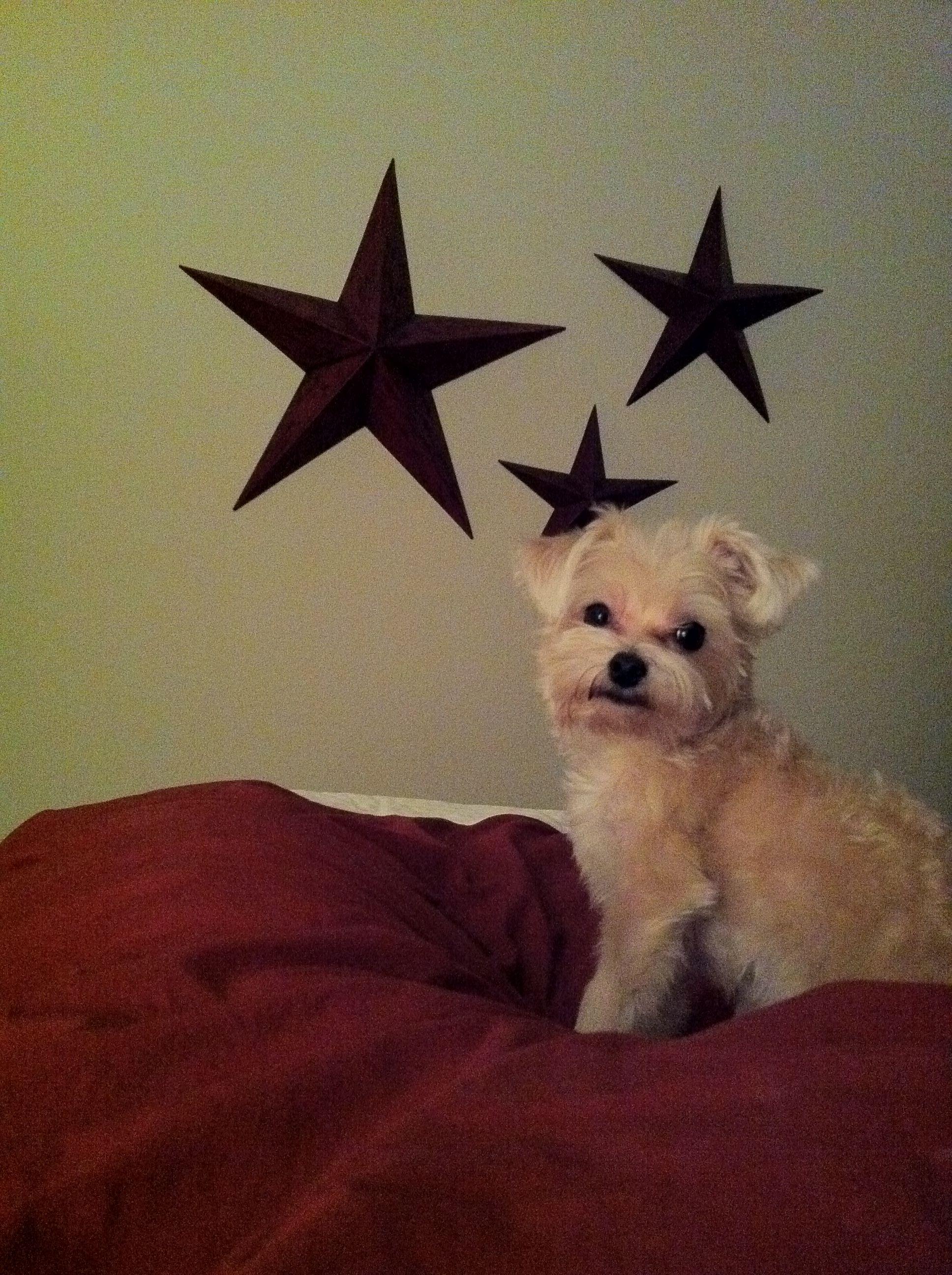 My handsome morkie puppy model. :)