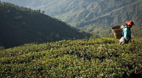 75a48eacec3d806066b7527a4cecc7a4 - List Of Tea Gardens In Darjeeling