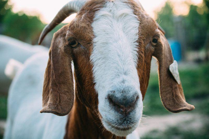 Why You Should Consider Getting A Goat Georgiapellegrini Com Goats Goat Health Goat Yoga