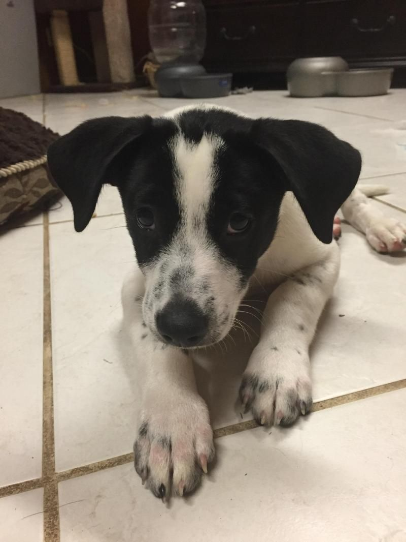 Adopt Roscoe On Petfinder Pointer Puppies English Pointer Puppy Puppy Mix
