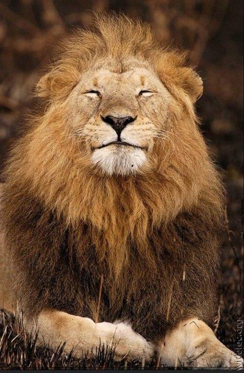 Фото открытки лев