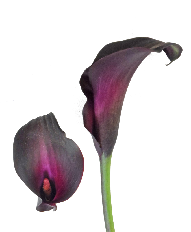 Night Life Black Calla Lily Shop Now At Calcallas Com Porcelaine Froide