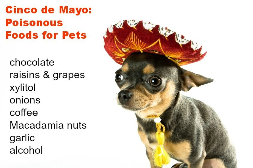 Watch out for these common pet poisons at your Cinco de Mayo party