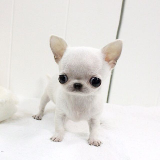 Baby Chihuahua Teacup Chihuahua Puppies Chihuahua Puppies
