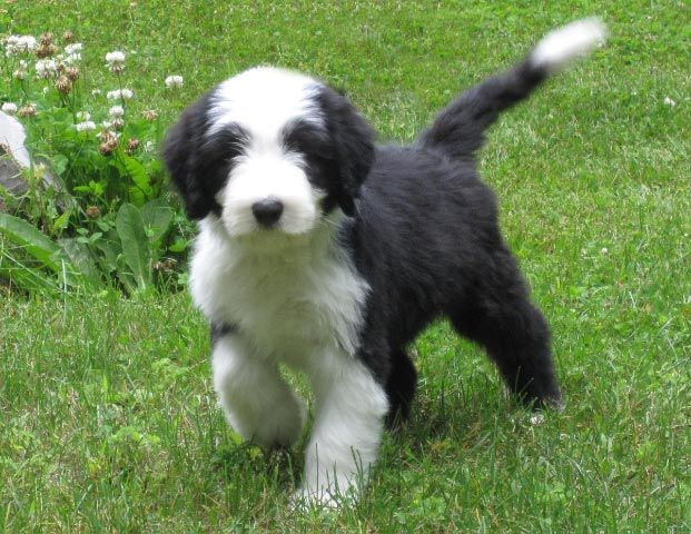 Bearded Collie Puppy Bearded Collie