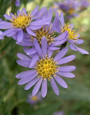 In Japan Aster Tataricus Is Known As Shion Or 紫苑 The Flower Has A Meaning In Japanese Language Of Flowers Whi Plants Herbaceous Perennials Perennial Plants
