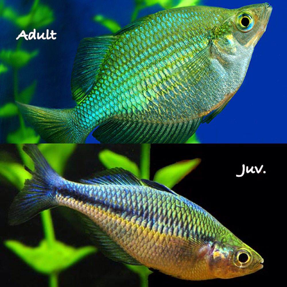 Turquoise Rainbowfish Top Colorful Adult Bottom Juvenile
