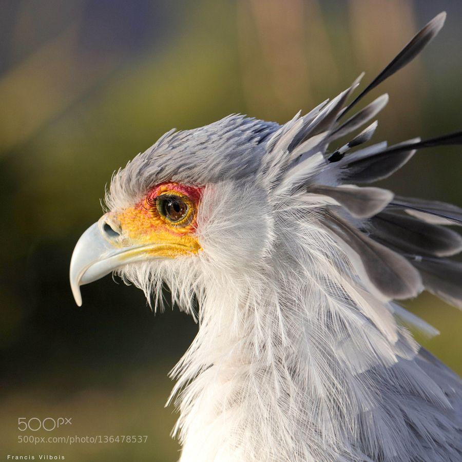 #animals Secretarybird by FVilbois http://ift.tt/1JUxytj