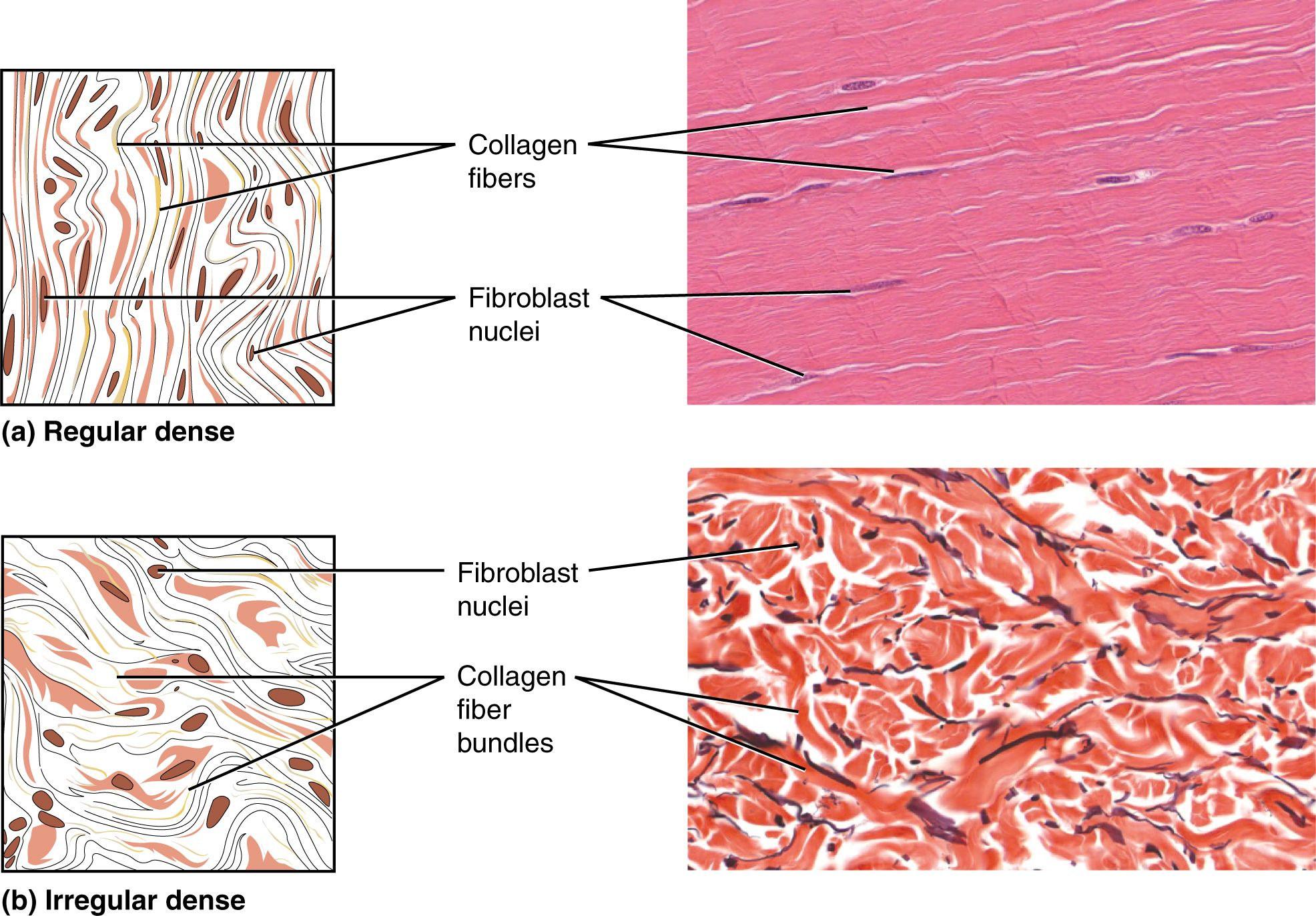 hight resolution of part a shows a diagram of regular dense connective tissue alongside a micrograph the tissue