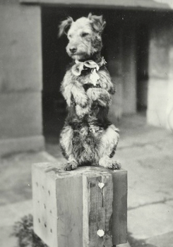 Squadron Airedale Terrier mascot Ciapek, of 305 RAF Polish, standing on hind legs. (Puppy photo) WW2