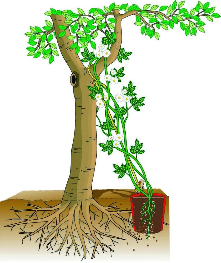 ramblerrosen zweite bl te f r alte b ume pflanzen g rten und gartenideen. Black Bedroom Furniture Sets. Home Design Ideas