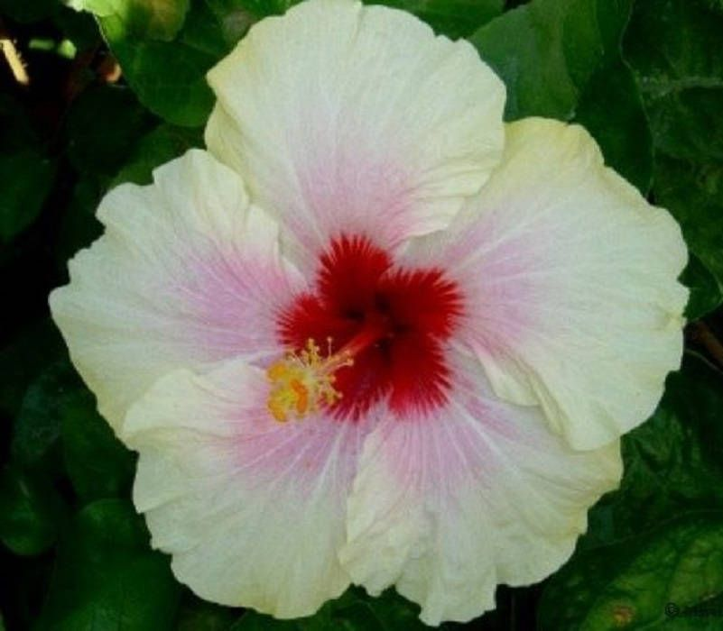 Rare Pink Yellow Hibiscus Seeds Giant Dinner Plate Fresh Flower ...