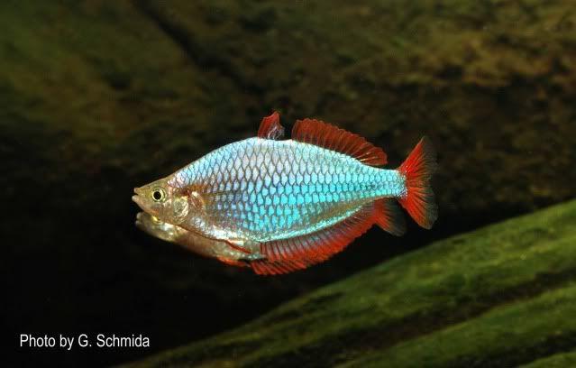 Neon Dwarf Rainbow Melanotaenia Praecox Rainbow Fish Australian Rainbow Fish Fish Pet