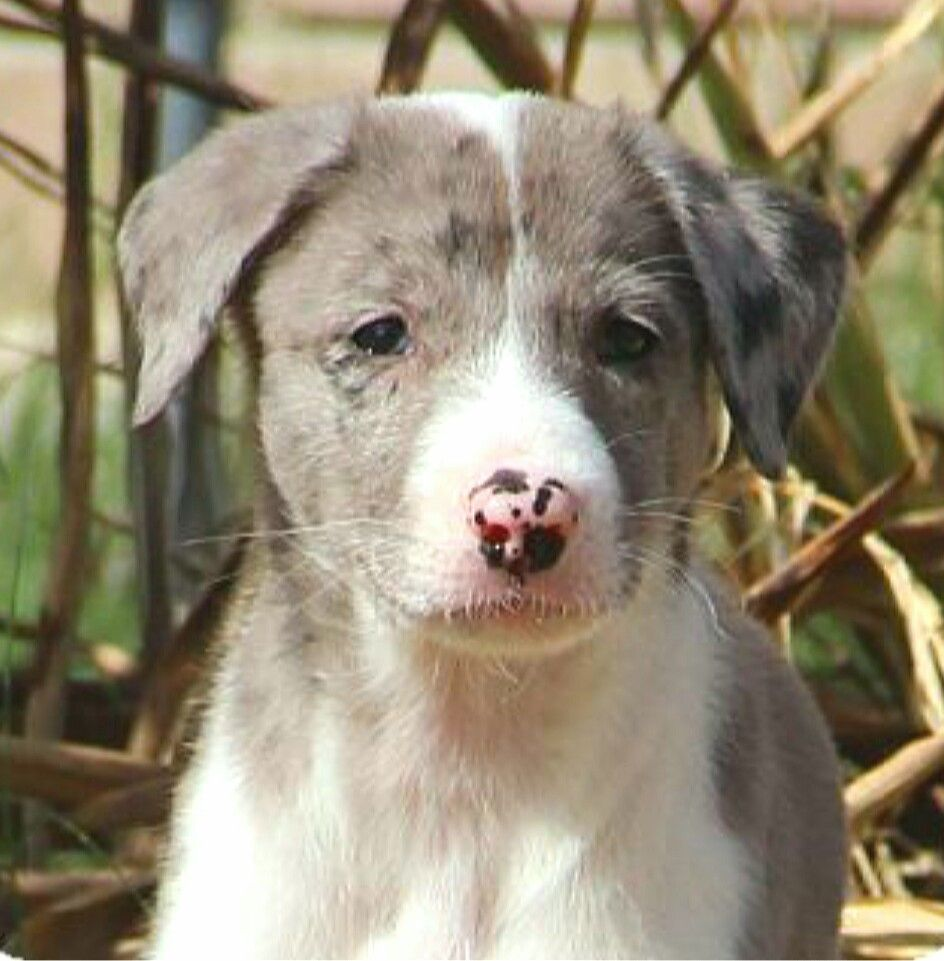 Great Dane Australian Shepherd Australian Wolfhound Mix Puppy